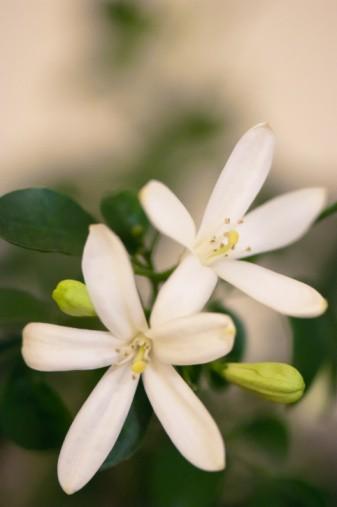 Jasmim flor na lapela