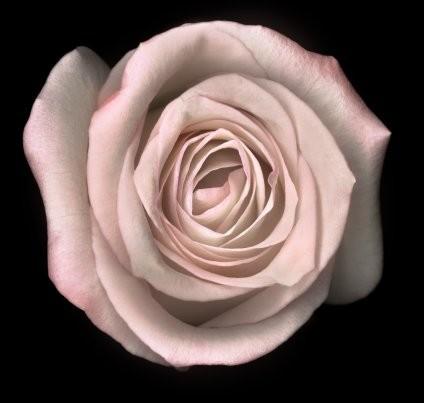 mini rosa flor na lapela