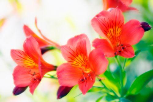 Alstroemeria flor na lapela