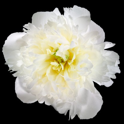 flor cravo branco