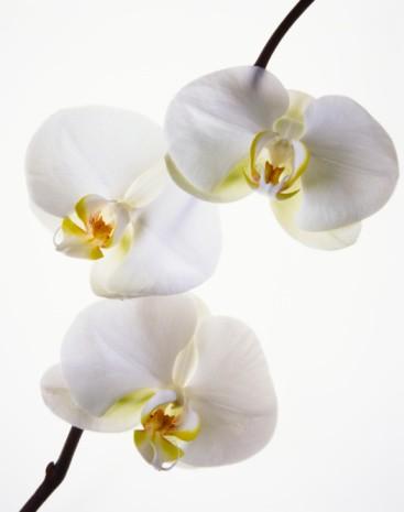 Orquídeas flor na lapela