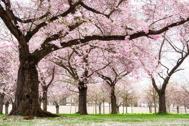 sakura - lua de mel no japão - revista icasei