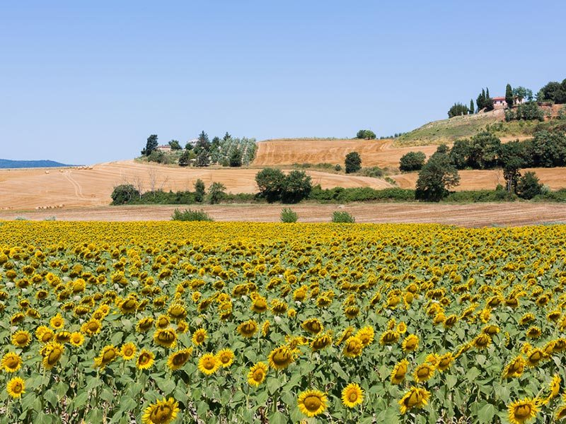 campo-de-girassois-toscana-primavera (2)