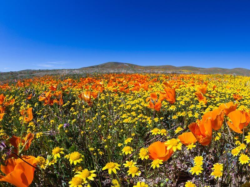 campo-de-papoulas-Antelope-Valley-lua-de-mel (3)