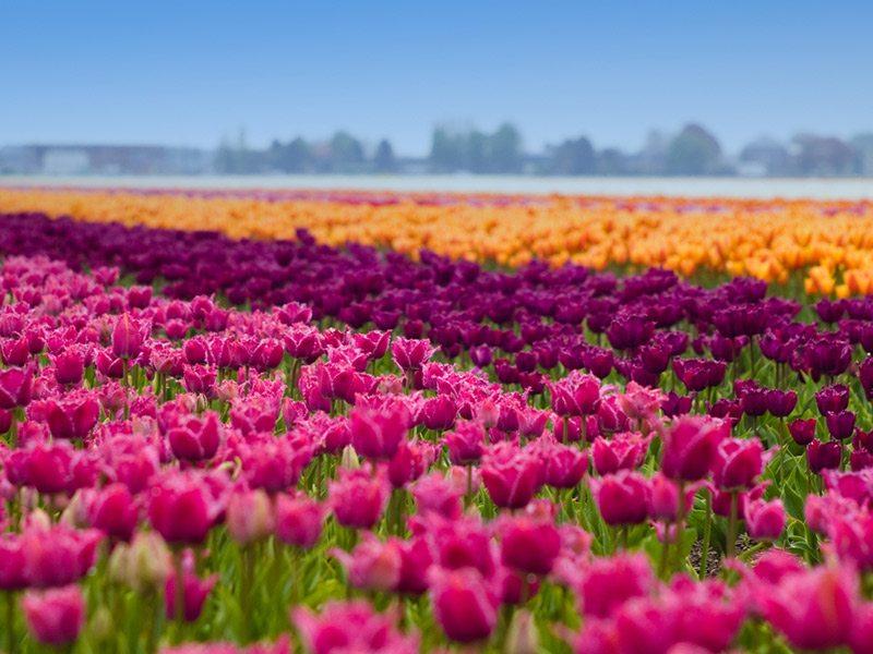 campo-de-tulipas-em-amsterdam-lua-de-mel-primavera (3)