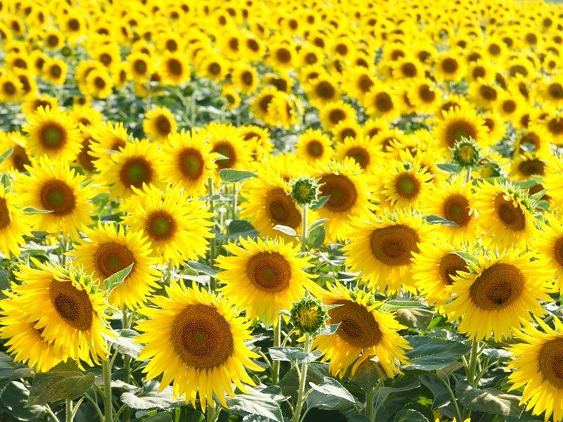 campos-de-girassois-sevilha-primavera (3)
