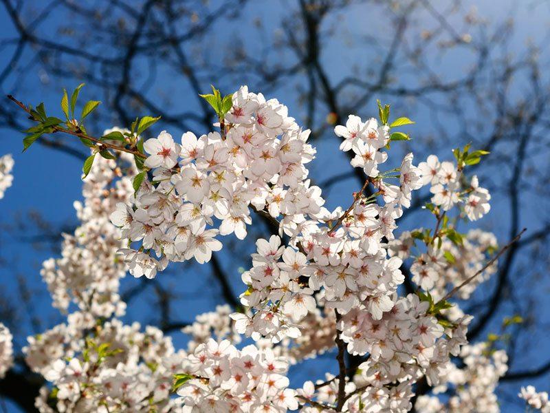 cerejeiras-em-toronto-na-primavera-lua-de-mel (3)