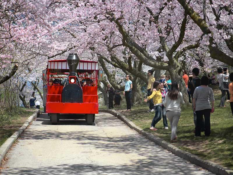 cerejeiras-em-toronto-na-primavera-lua-de-mel (4)