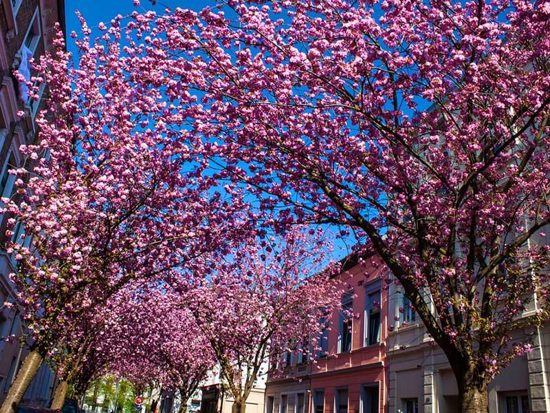 cherry-blossom-alemanha-lua-de-mel-primavera (3)