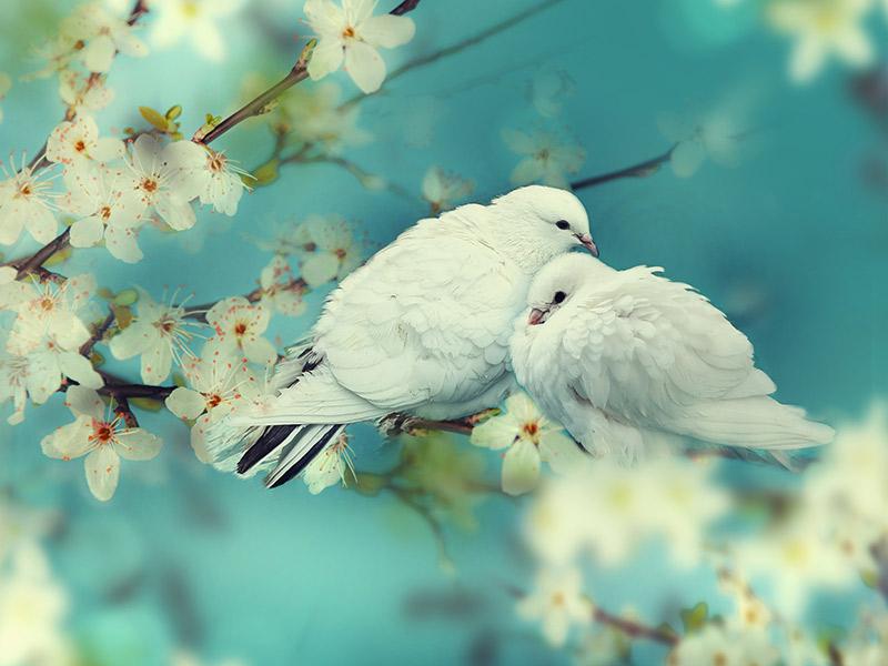 Conheça 10 origens e significados no casamento pombos