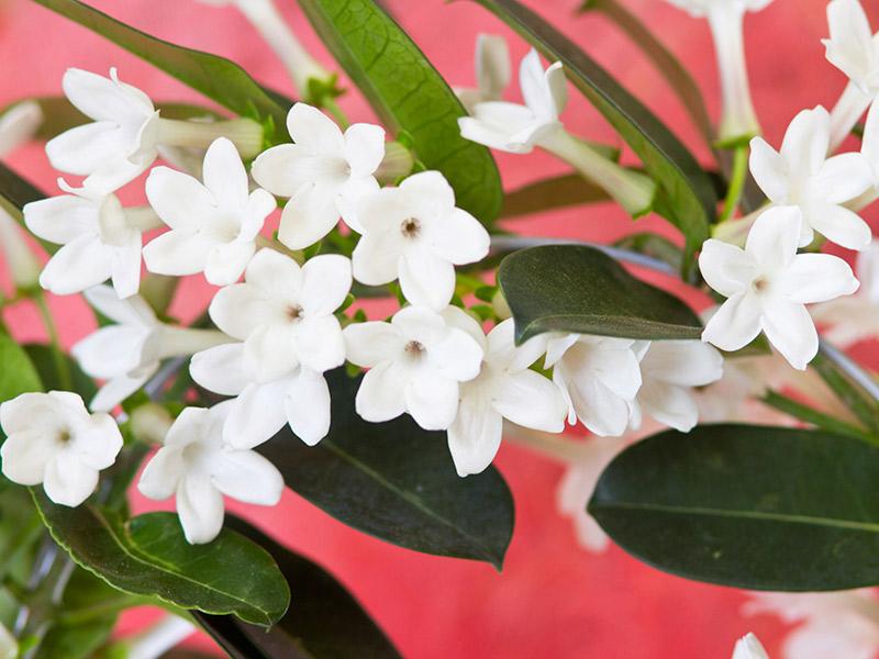 casamento significado das flores mais usadas no Jasmin de madagascar