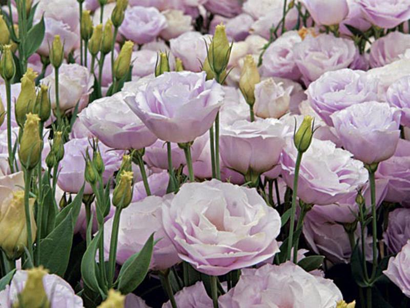 Flores mais usadas no casamento Lisianto