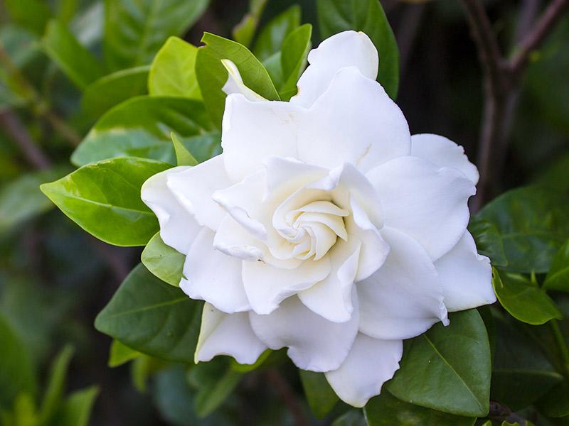 Flores significados no casamento gardênia