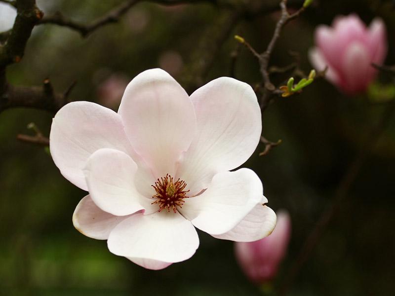 Significado flores mais usadas no casamento magnólia