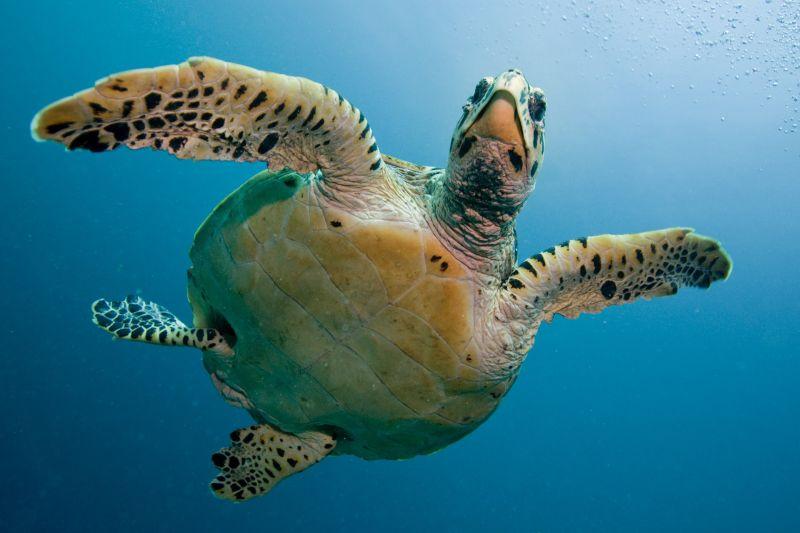 tartaruga-nas-ilhas-maldivas
